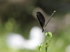 Calopteryx virgo ssp. festiva - female in obelisc IMG_7171