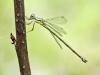 Chalcolestes parvidens - female / Lestes parvidens IMG_7282