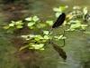 Calopteryx virgo ssp. festiva - ovipositing IMG_7308