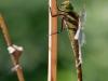 Aeshna isoceles ssp. antehumeralis - female IMG_7370