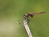 Trithemis annulata - female androchrom / andromorph IMG_7475