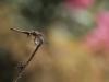 Trithemis annulata - female androchrom / andromorph IMG_7480