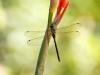 Caliaeschna microstigma - female IMG_7551