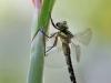 Caliaeschna microstigma - female IMG_7559