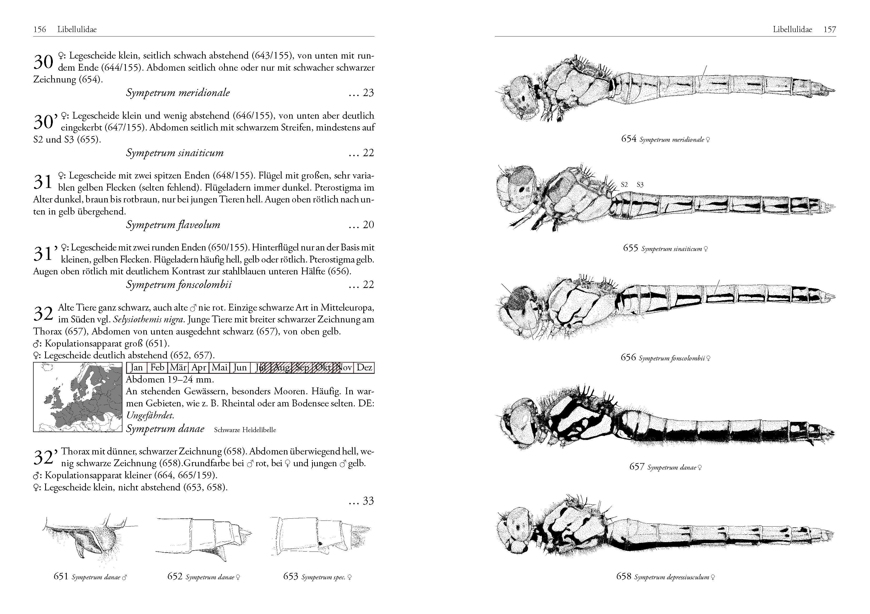 Leseprobe - DJN Libellen-Bestimmungsschlüssel Lehmann/Nüß, Seite 156/157