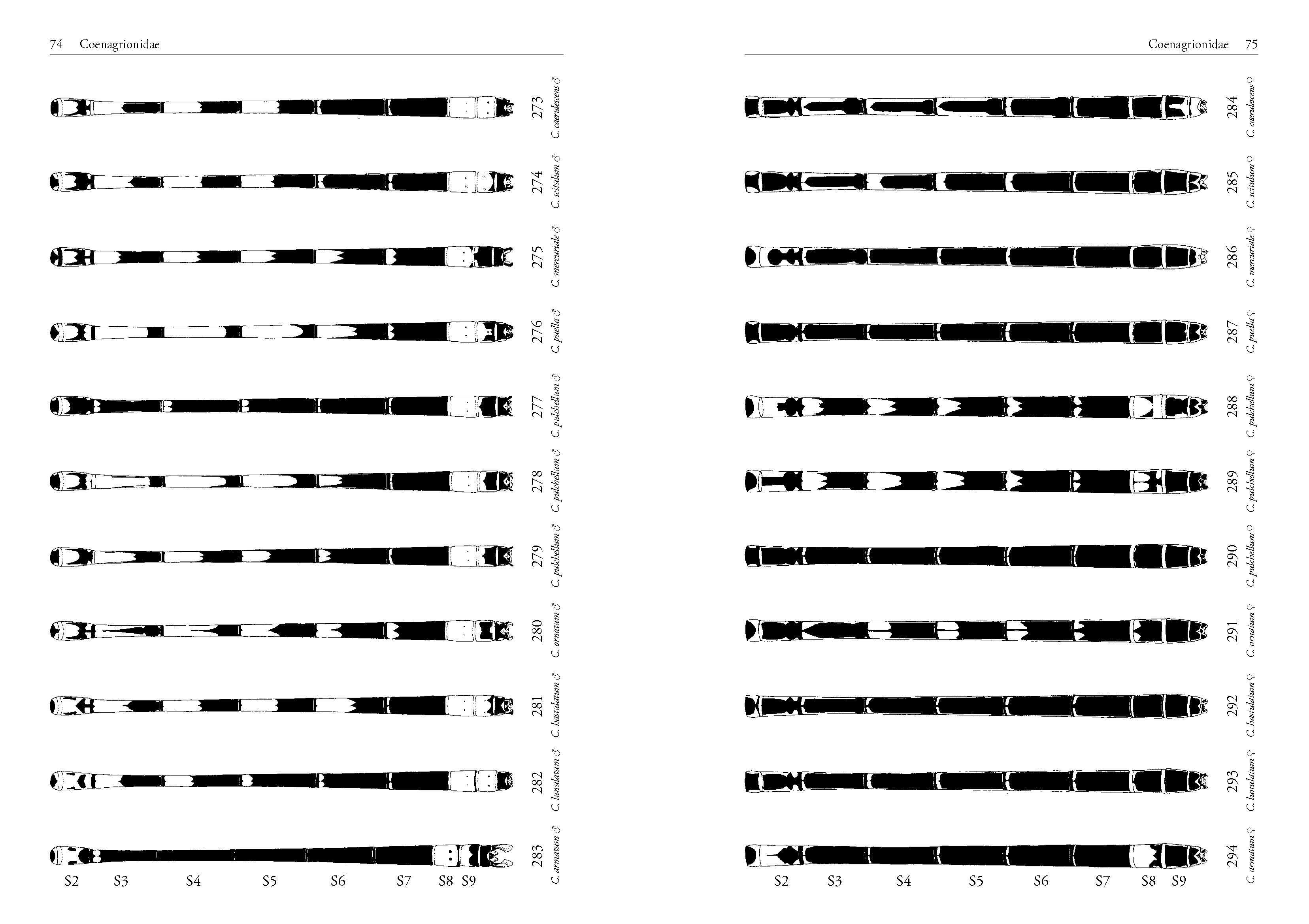 Leseprobe - DJN Libellen-Bestimmungsschlüssel Lehmann/Nüß, Seite 74/75