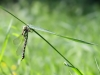 Aeshna cyanea - female andromorph _IMG_2231