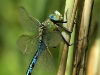 anax-imperator-mimg_8570