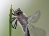 Brachytron pratense - male immature