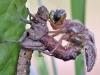 Brachytron pratense-male
