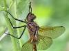 Zweifleck - Epitheca bimaculata