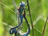 Aeshna affinis copula with a blue female / by Kathrin Zander from Bavaria