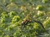 Aeshna subarctica elisabethae, female ovipositing / by Olaf Wolfram, Germany