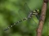 Cordulegaster trinacriae - male / by Pablo Martinez-Darve Sanz from Gran Canaria