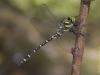 Cordulegaster trinacriae - male 1/ by Pablo Martinez-Darve Sanz from Gran Canaria