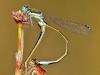 Ischnura graellsii - copula with female forma infuscans / by Jose Alvarez Gándarafrom Spain - Galicien