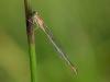 Ischnura graellsii - female / by Jorge Perez from Spain 4