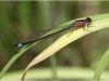 Ischnura graellsii - female / by Michael Schaefer from Berlin