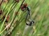 Somatochlora flavomaculata copula / by Kathrin Zander from Bavaria_IMG_0841