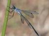 Lestes microstigma - female 2 / by Gerd-Michael Heinze from Germany