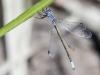 Lestes microstigma - male 2 / by Gerd-Michael Heinze from Germany