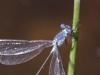 Lestes microstigma - male / by Gerd-Michael Heinze from Germany