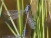 Lestes microstigma - Tandem 2 / by Gerd-Michael Heinze from Germany
