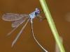 Lestes microstigma - Tandem / by Gerd-Michael Heinze from Germany