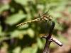 Sympetrum nigrifemur - female / copyright by Axel Schallwich from Sachsen-Anhalt