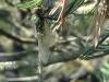 Somatochlora arctica - female immature / by Julia Wittmann from Munich