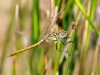 Sympetrum sinaiticum - male immature / by Adriá Miralles from Barcelona (Spain) 4