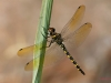 Zygonyx torridus - male 3 / by Pablo Martinez-Darve Sanz from Gran Canaria