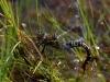 Aeshna crenata - andromorph female ovipositing/ by Erland Refling Nielsen