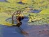 Aeshna crenata - female ovipositing / by Erland Refling Nielsen