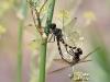 Zygonyx torridus - copula / by my wife: Sylvia Schulz _IMG_1231