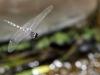 Zygonyx torridus - male _IMG_3653