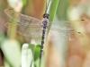 Zygonyx torridus - male _IMG_3776