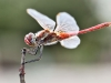 Sympetrum fonscolombii - male _IMG_3933