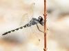 Zygonyx torridus - male _IMG_4056