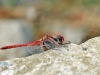 Sympetrum_fonscolombii_male_35