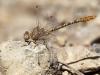 Onychogomphus costae - male_IMG_0774