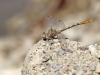 Onychogomphus costae - male_IMG_0778