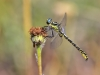 Gomphus graslinii - male_IMG_0971