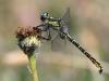 Gomphus graslinii - male_IMG_0987
