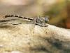 Onychogomphus uncatus - male_IMG_1248