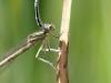 Platycnemis latipes - female- Identification mark = white greaves (tibia) - IMG_2711