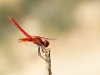 Trithemis kirbyi - male - IMG_0353