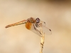 Trithemis kirbyi - female IMG_8120