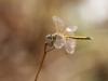 Sympetrum fonscolombii - female IMG_8538