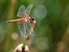 Trithemis kirbyi - female - IMG_8789